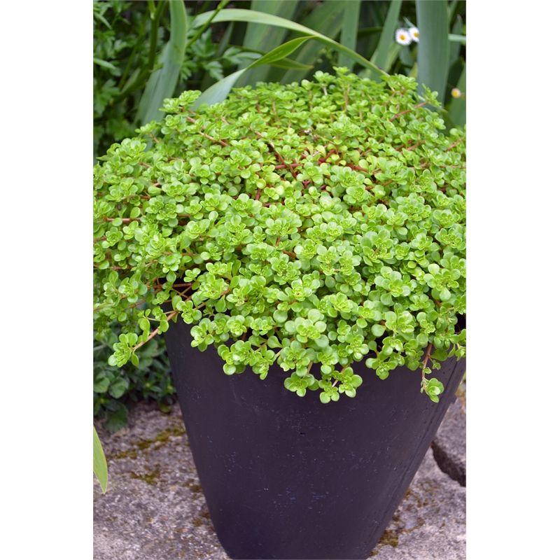 Sedum spurium Sedum, Plants, Succulents