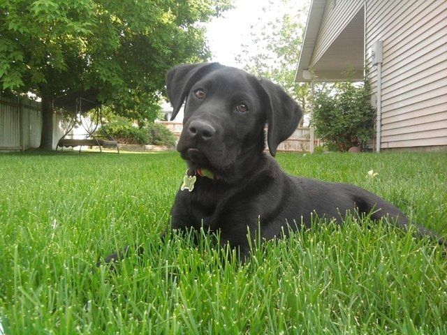 Free 6 Month Old Black Lab Border Collie Mix For Sale In Pocatello Idaho Dog Obedience Collie Mix Dog Training Obedience
