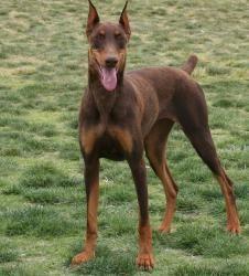 Adopt Shasta On Doberman Pinscher Doberman Dogs Doberman