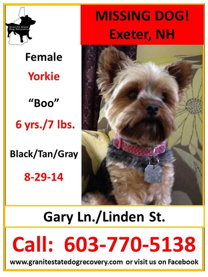 Missing Female Yorkie Exeter Nh 8 29 14 Boo Is 6 Yrs 7 Lbs Tan Black Gray Is Wearing A Collar She Was Spooked By Fireworks A Losing A Dog Yorkie Dogs
