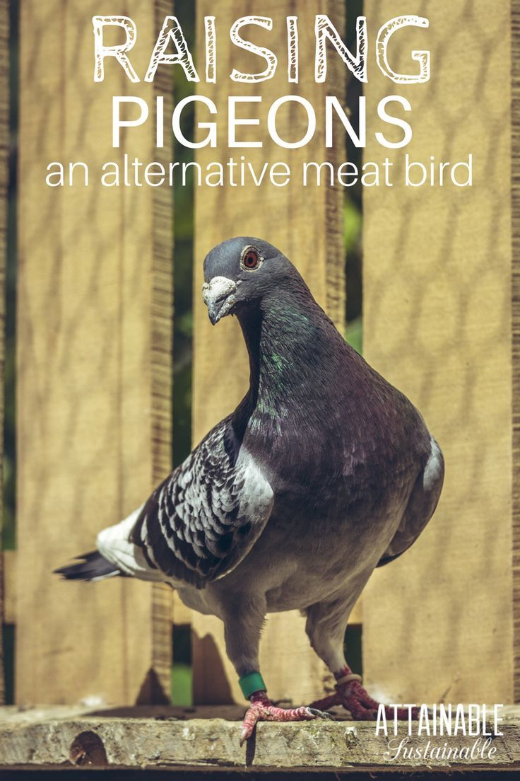 Raising Pigeons for Meat: An Unconventional Source of ...