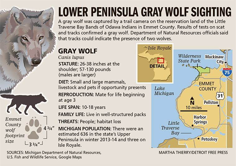 Gray Wolf Confirmed In Northern Lower Peninsula Grey Wolf Michigan Facts Wolf