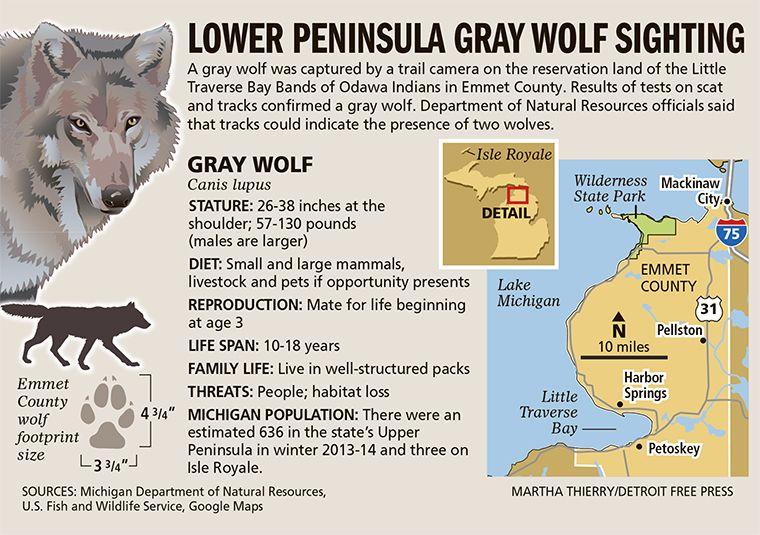 Bears In Michigan Map Google Search Grey Wolf Michigan Facts Wolf