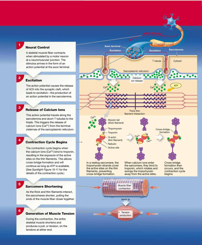 10 4 Motor Neurons Stimulate Skeletal Muscle Fibers To