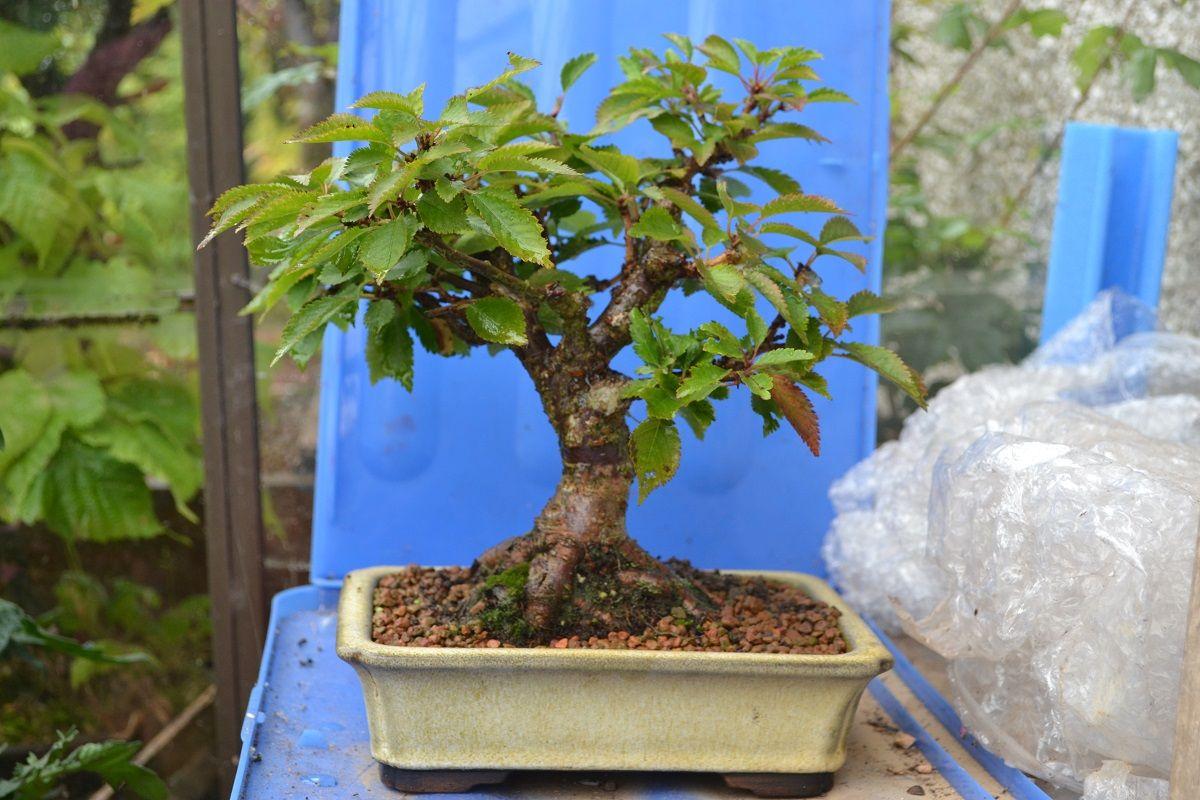 Prunus Incisa Kojo No Mai Fuji Cherry