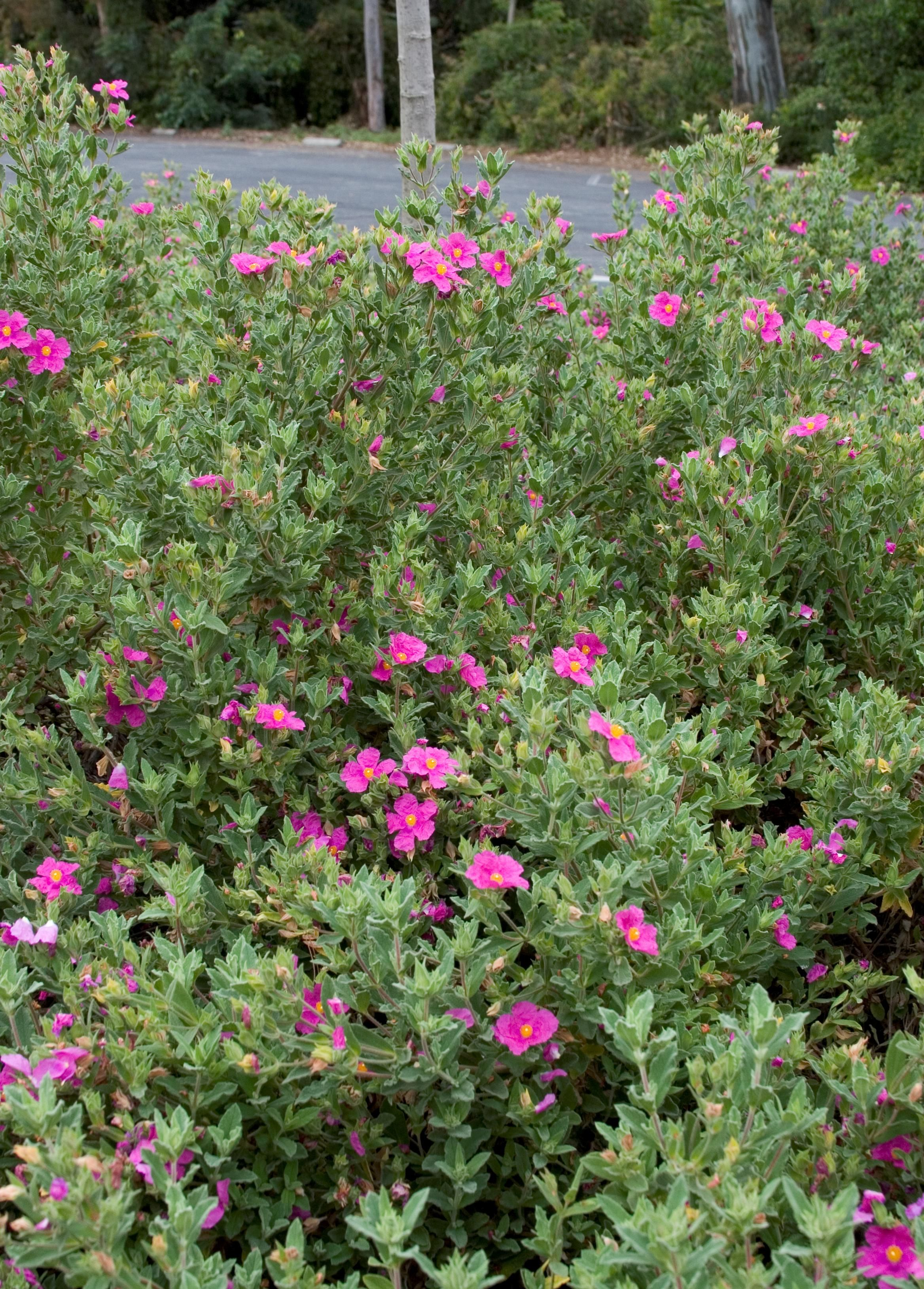 Front Planter Brillancy Rock Rose Monrovia