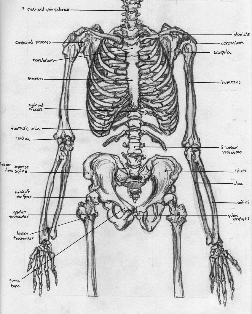Skeletal Torso Anatomy By Badfish81iantart On Deviantart