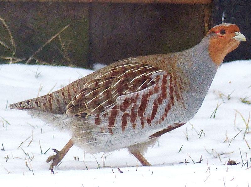 Hungarian Partridge in our backyard  Calgary, AB | Hungarian
