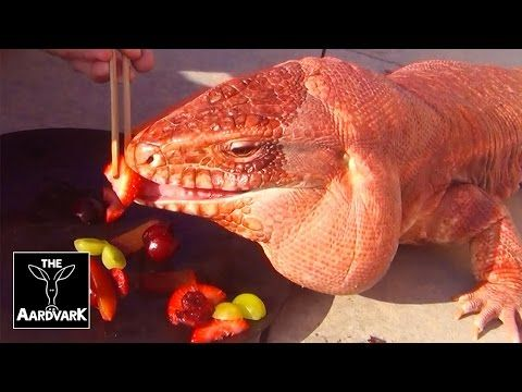 Macgyver The Argentine Red Tegu Lizard | The Aardvark - YouTube