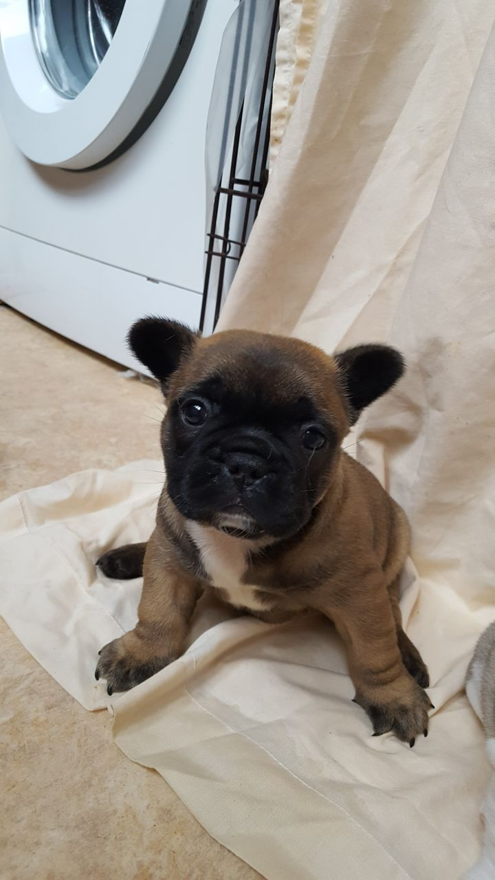 8 Week Old French Bulldog Puppies For Sale Bulldog Puppies For
