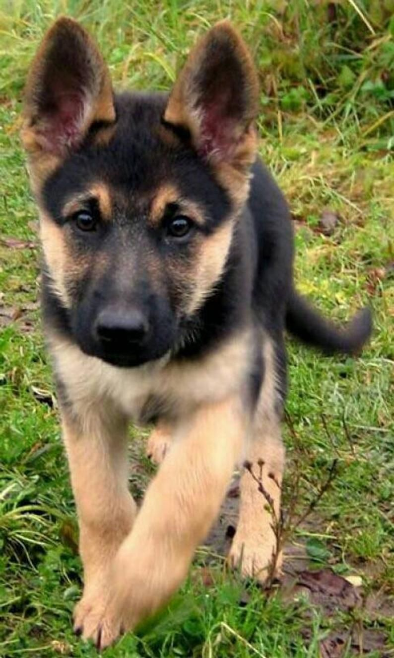 Meet Jack Our Fantastic German Shepherd Puppy He Is A Cute