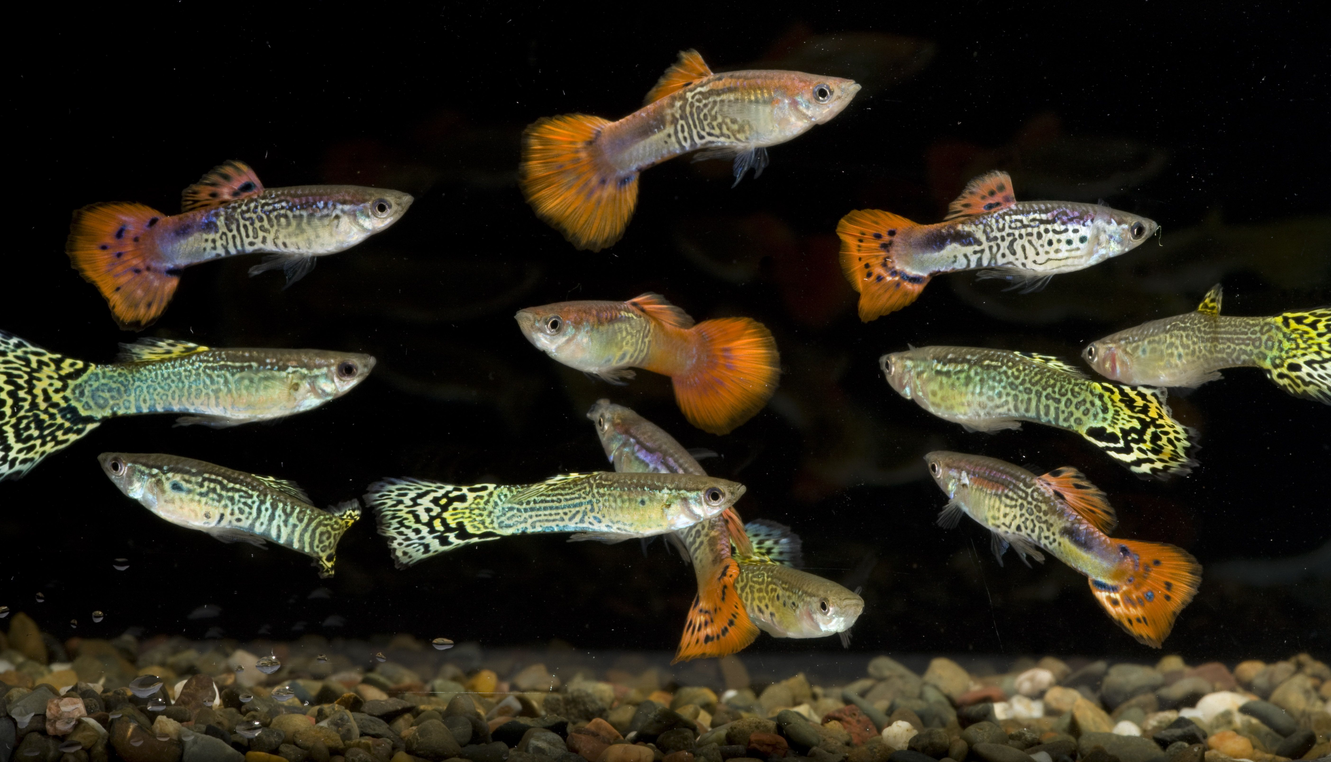 Freshwater aquarium fish silver with red fins - Red And Green Tinsel Guppies Aquariumindustries Christmas Fish Guppies Summer