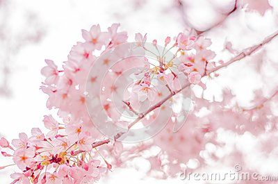Spring Cherry Blossoms In Japan Cherry Blossom Close Up And In The Distant Background Cherry Blossom Japan Blossom Cherry Blossom