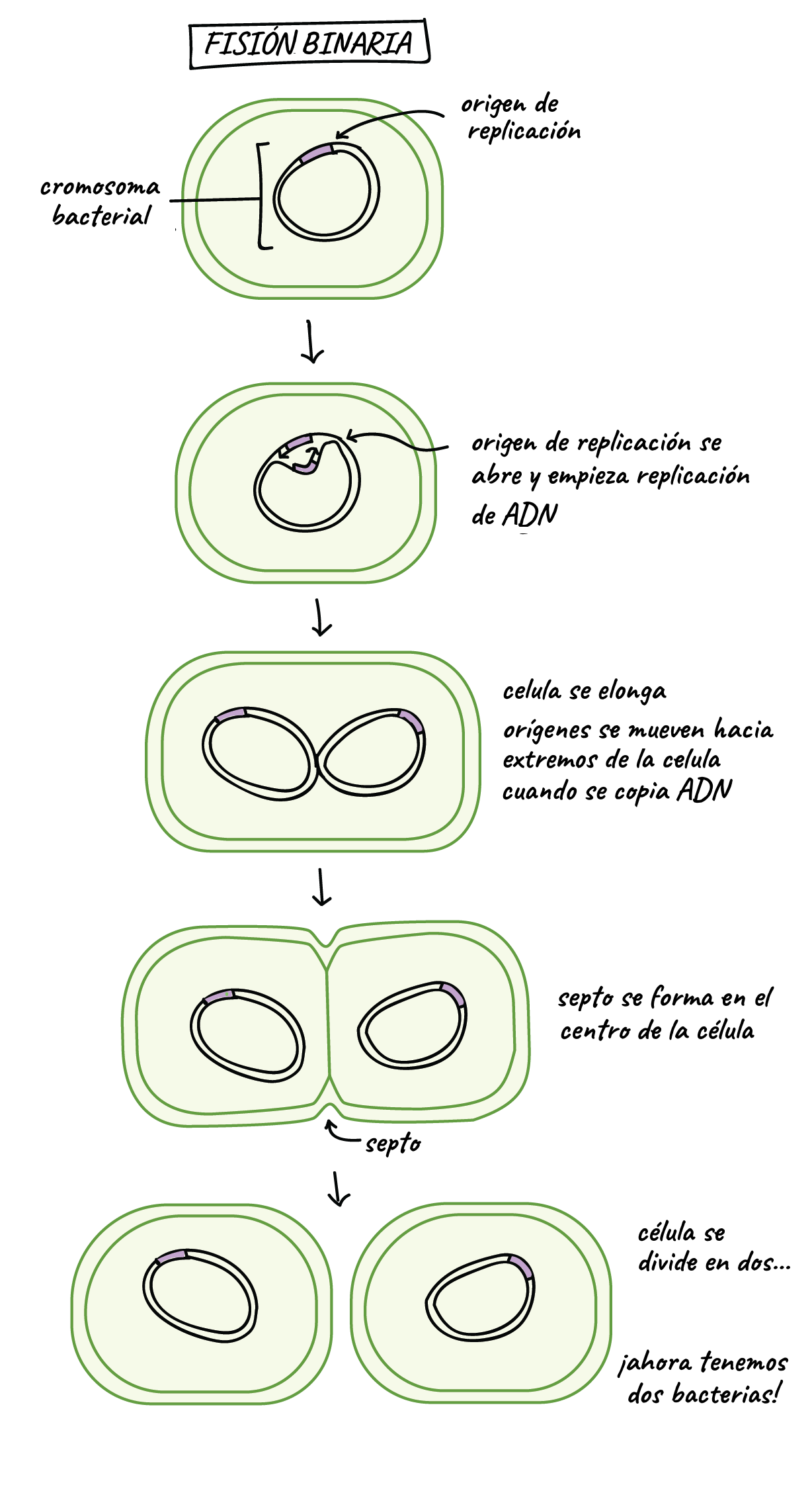 (16) Bacterial binary fission | The cell cycle and mitosis ...