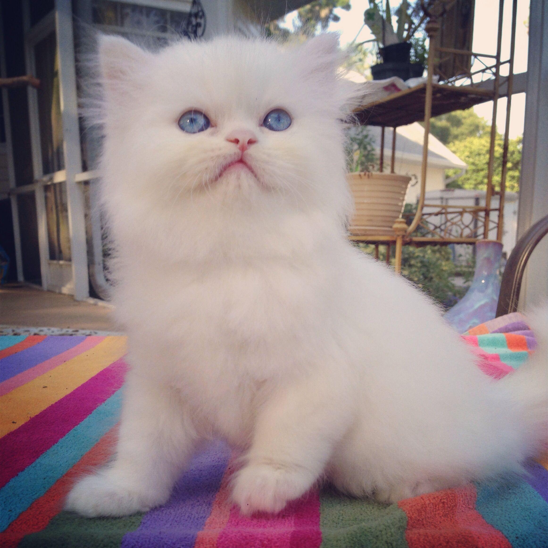 Kismet Kittens We Are Expecting A New Litter Of White Doll Face Persian Kittens Eye Color Will Be Persian Cat Doll Face Teacup Persian Kittens Teacup Kitten