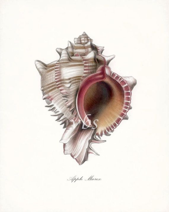 Apple Murex Sea Shell Illustration Nautical by vintagebytheshore,