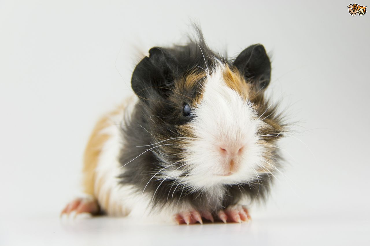Pin on Guinea Pigs ️