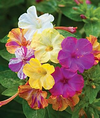 Four O/'Clock Seeds ~ Rare Mirabilis Jalapa ~MARBLE~ Yellow//Red Flowers ~20 Seeds
