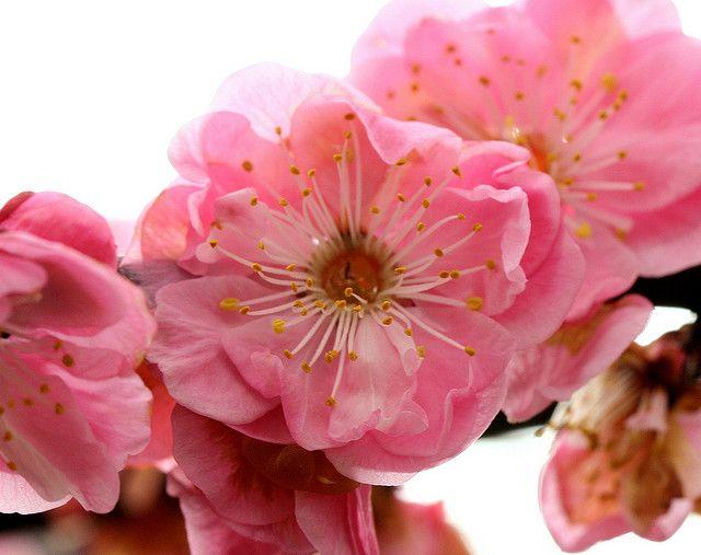 Pink Fruit Flower Pink Fruit Flowers Pink