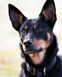 painting os kelpie dogs - Google Search in 2020