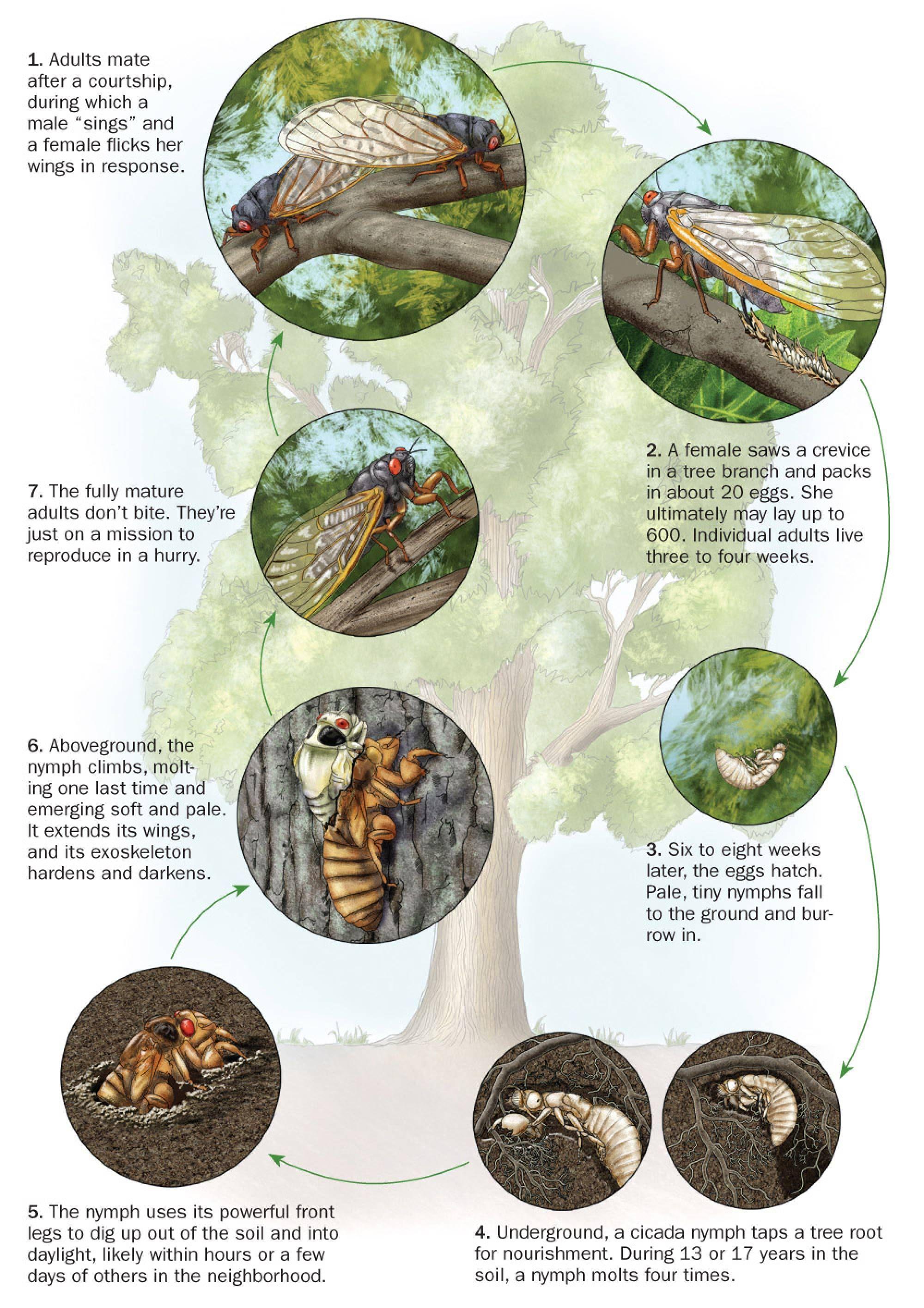 Cicada Life Cycle Gallery