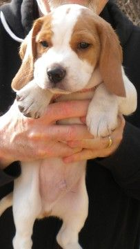 Blue beagle rolla mo