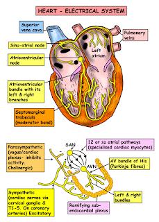موقع الدكتور أحمد كلحى صور تشريح Anatomy Thorax Nerves Surface Anatomy Lymphatics Cardiac Nursing Nurse Heart Electrical