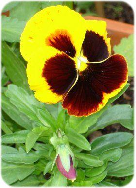Billede fra http://www.slottet-i-smoermosen.com/planter/billeder/blomst_054b.jpg.