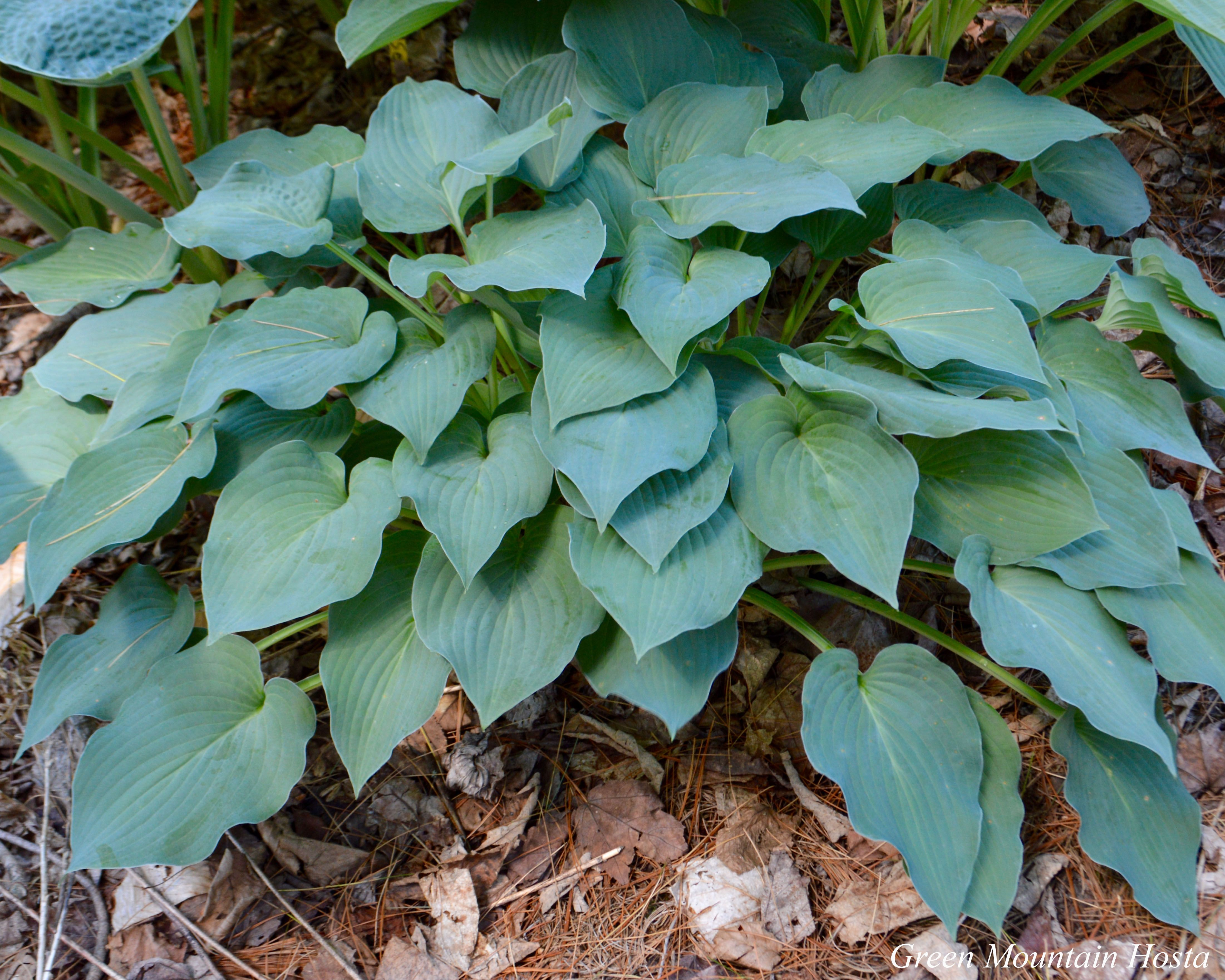 Blue Boy Hosta Small Hosta Blue Hosta Hosta Varieties Edging