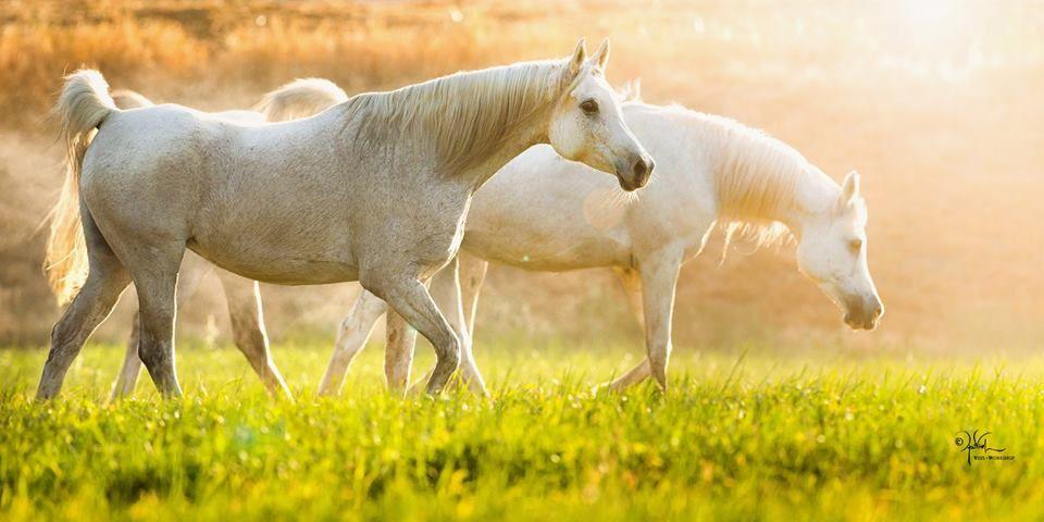 يوميات مربط إعشق وانتج من الخيول العربية ماتراه الأفضل لا اللذي يفوز Horses Arabian Horse Stud Farm