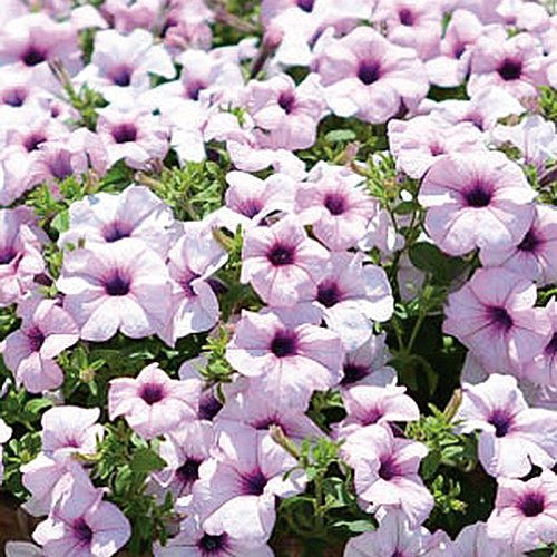 Surfinia Sumo Glacial Pink Petunia Hybrid With Images