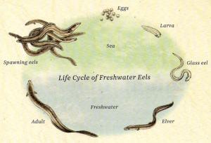 Long Fin Eel Life Cycle Life cycles, Life, School work