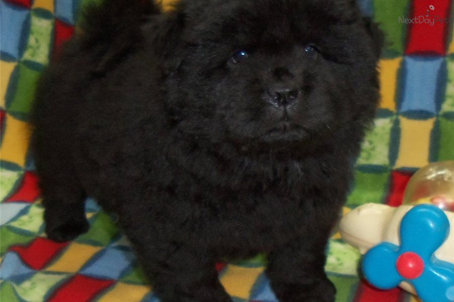Chow Chow Puppies Chow Chow Puppy For Sale Near Kansas City