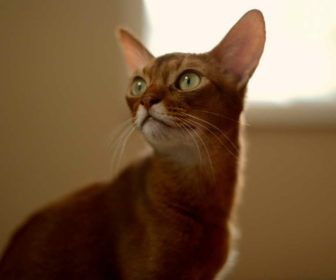 Abyssinian Cat Profile