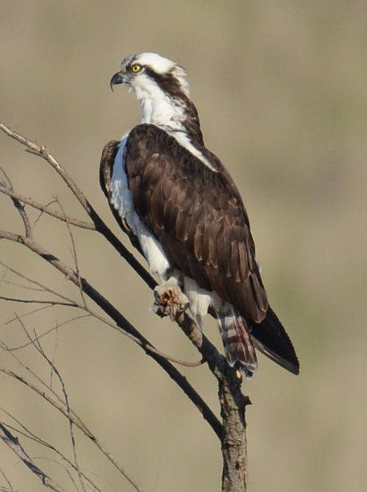 An osprey sits in a tree by the San Joaquin River as the National Audubon Society's 113th Annual Christmas Bird Count took place at Lost Lake Park