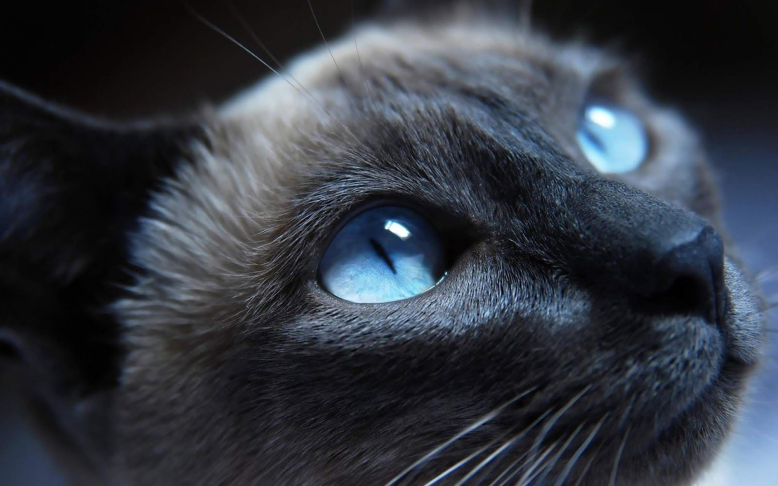 Blue Cat Wallpaper High Quality Desktop Iphone And Android