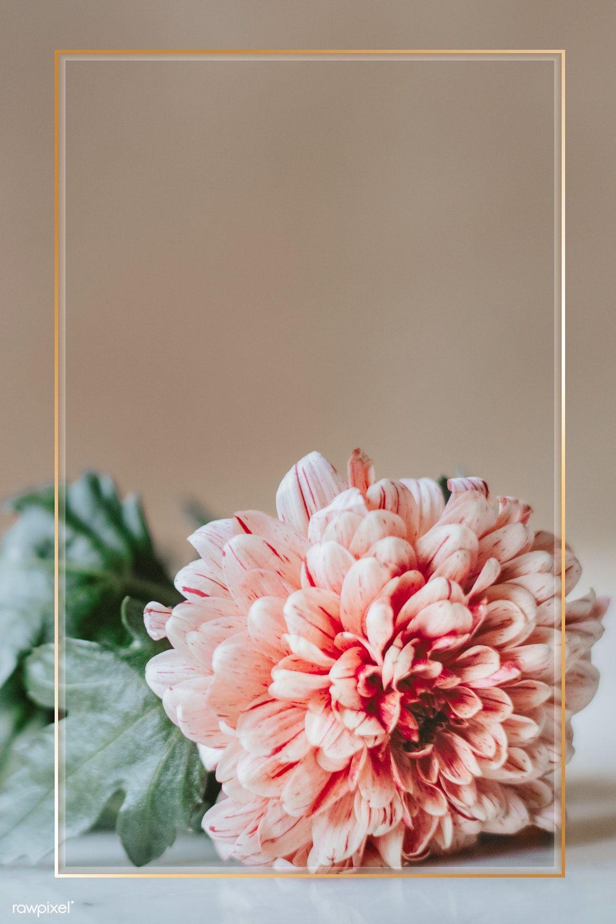 Download Premium Psd Of Chrysanthemum Pip Salmon On A White Table 1207794 Flower Background Wallpaper Flower Frame Flower Backgrounds Coolest chrysanthemum flower wallpaper