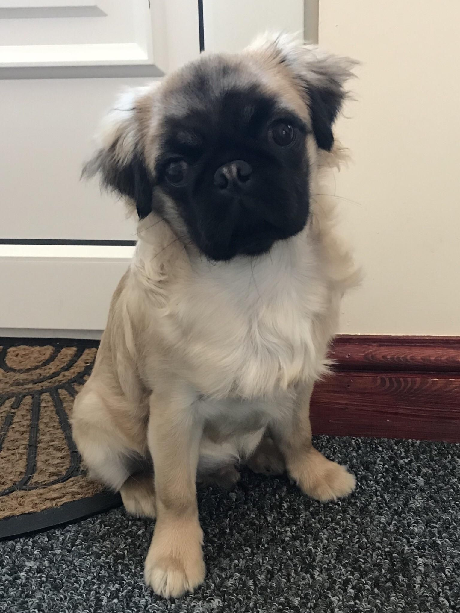 Meet Percy The Long Haired Pug He Is 5 Months Old This Week Hes