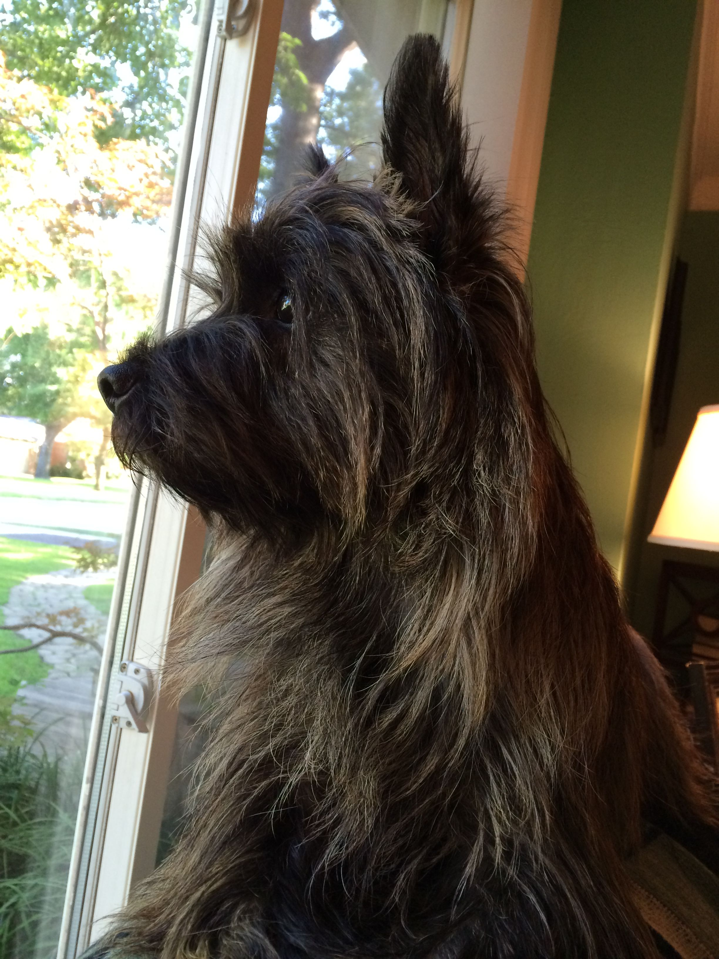 Beamish Irish Stout Cairn Terrier Terrier Animals