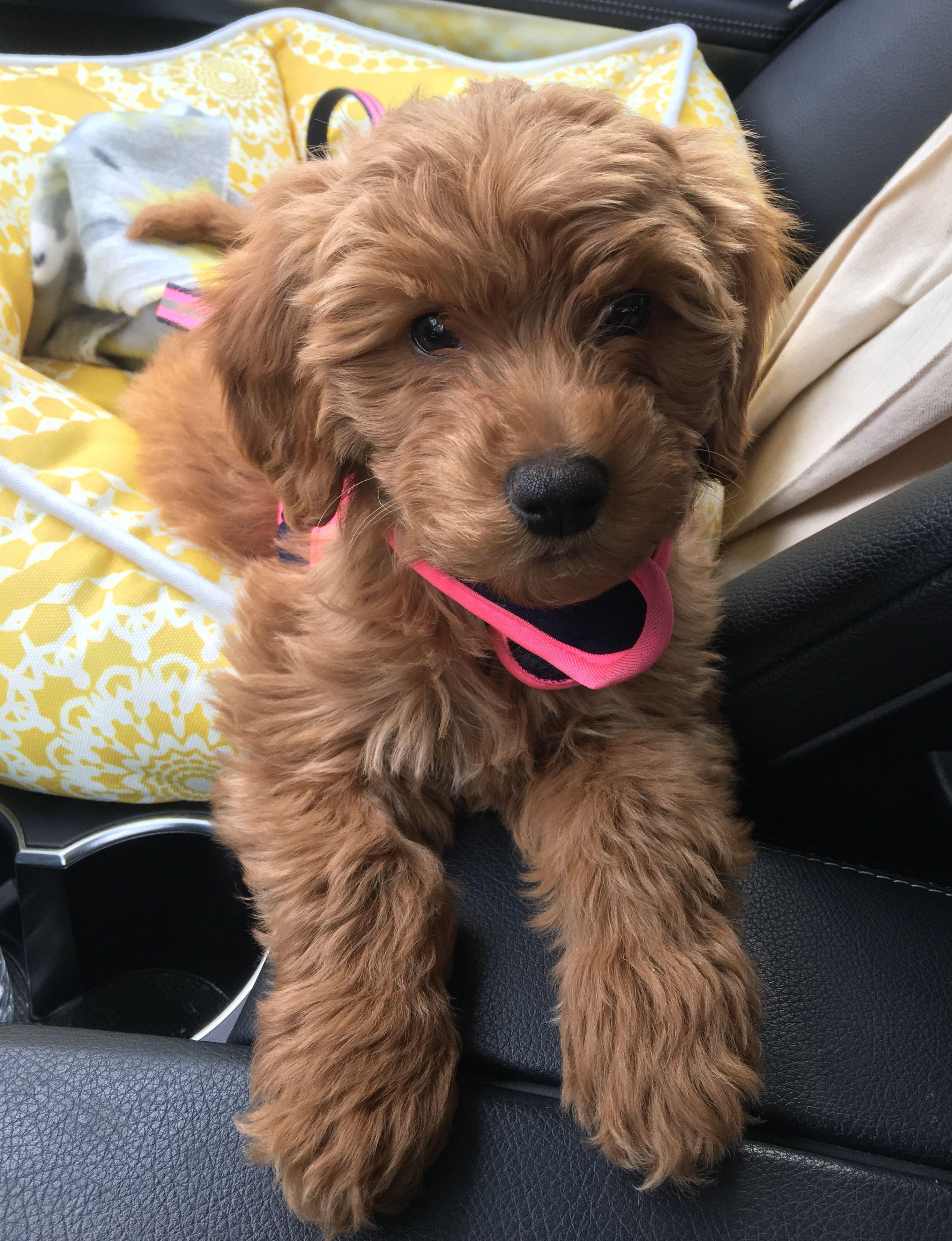 Pin Von Georgia Riedi Auf My Dog Mit Bildern Goldendoodle