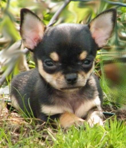 ChihuahuaZüchterVerzeichnis Bayern Chihuahua Hund