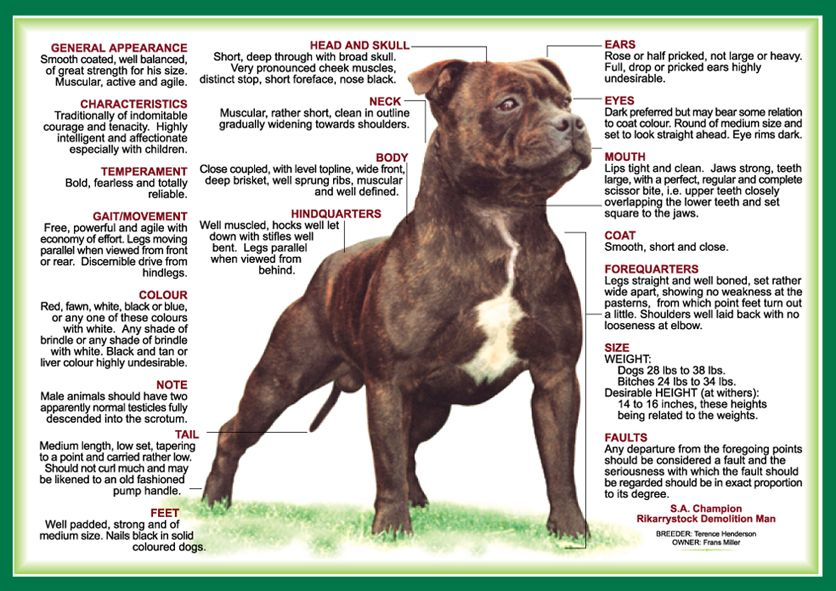 Over To You Bully Lovers You Asked For It You Got It The Bestselling Dog Book Is Now A Fantastic Color Staffordshire Bull Terrier Staffy Dog Bull Terrier