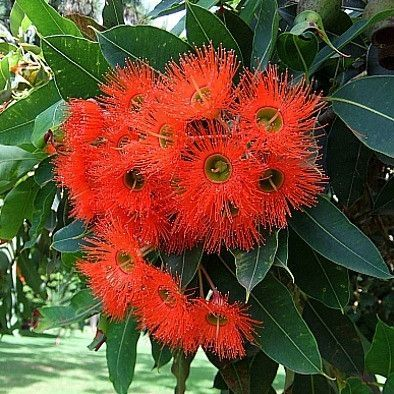 This Eucalyptus Blooms Like A Circus Clusters Of Fluffy Vibrant Red Flowers Cover The Landscaping Around Trees Rainbow Eucalyptus Tree Water Wise Landscaping