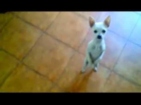 Anamarianamariamehadejaooo Chihuahua Chihuahua Love Baby Dogs
