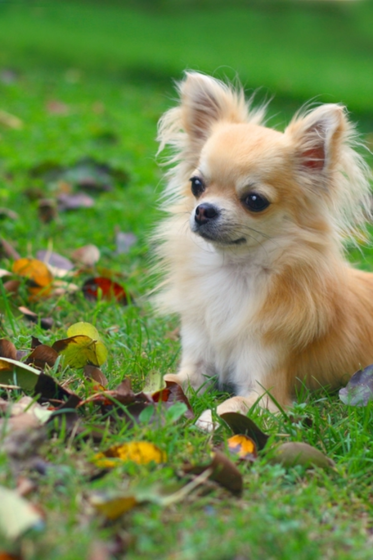 Longhair Chihuahua Lying In Grass Looking At Autumn Leaves On The Ground Chihuahua Dogs Funny Long Haired Chihuahua Puppies Chihuahua Dogs Clothes