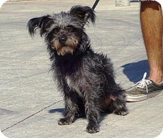 Yorkie Yorkshire Terrier Mix Dog