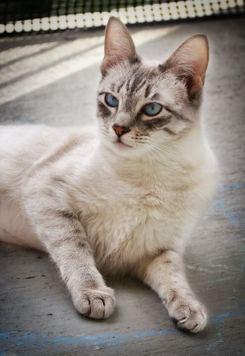 Lynx Point Siamese Cat Siamese Cats Cat Photography Cat Breeds