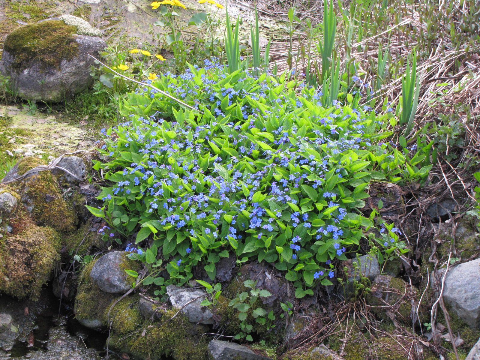 Kevätkaihonkukka on niin pieni ja sininen