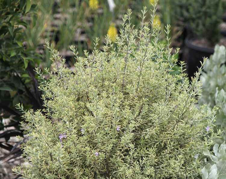 Westringia Wynyabbie Highlight Australian Variegated Rosemary A Compact Evergreen Shrub That Grows To At Least 3 4 Feet Tall And As Wide With Cream