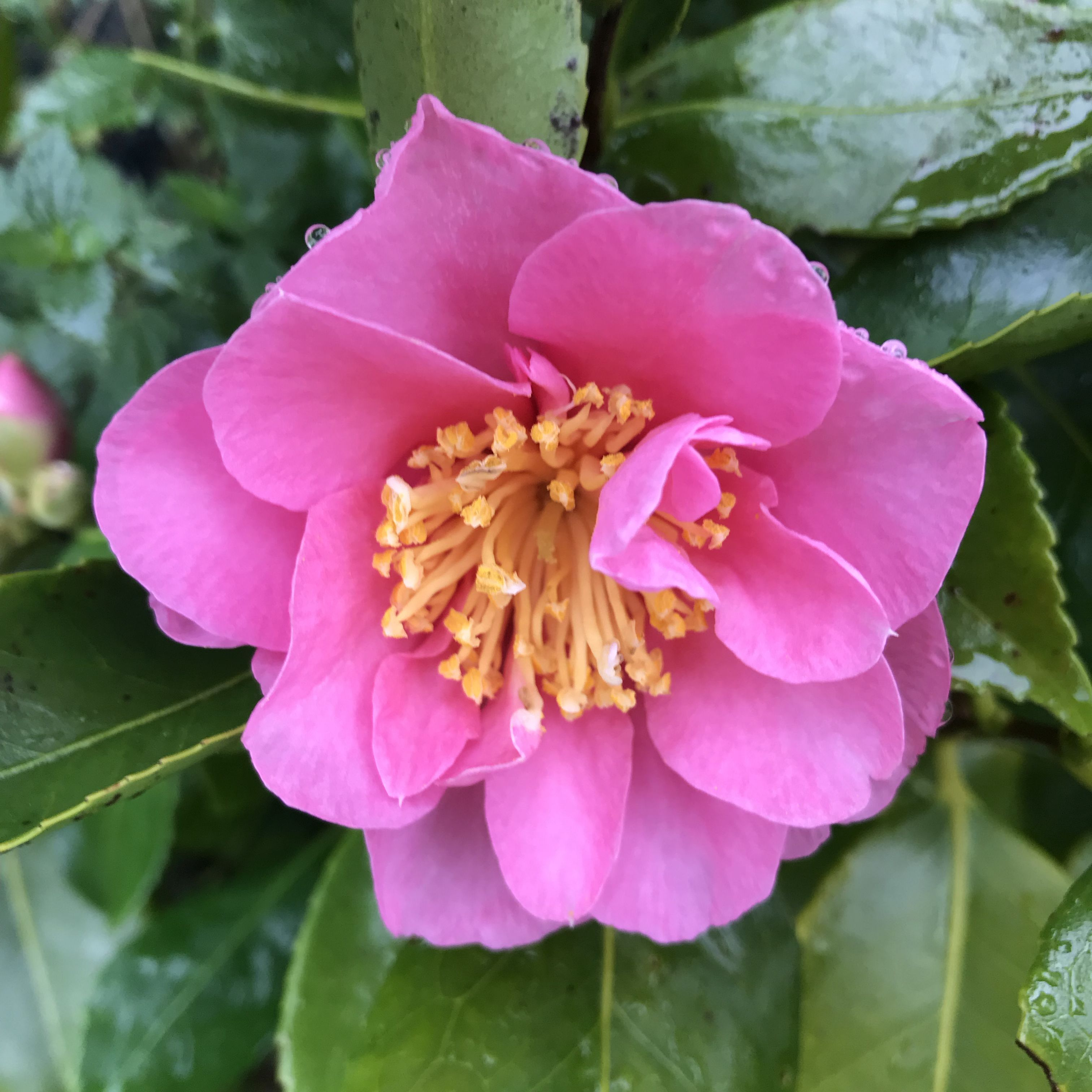 Autumn Flowering Pink Anemone Form Scented Flowers Of Camellia
